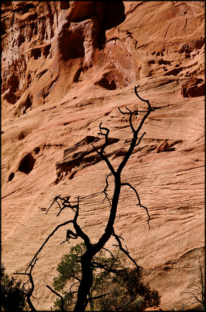 bt.tree3.canyon wall.2002.kinney